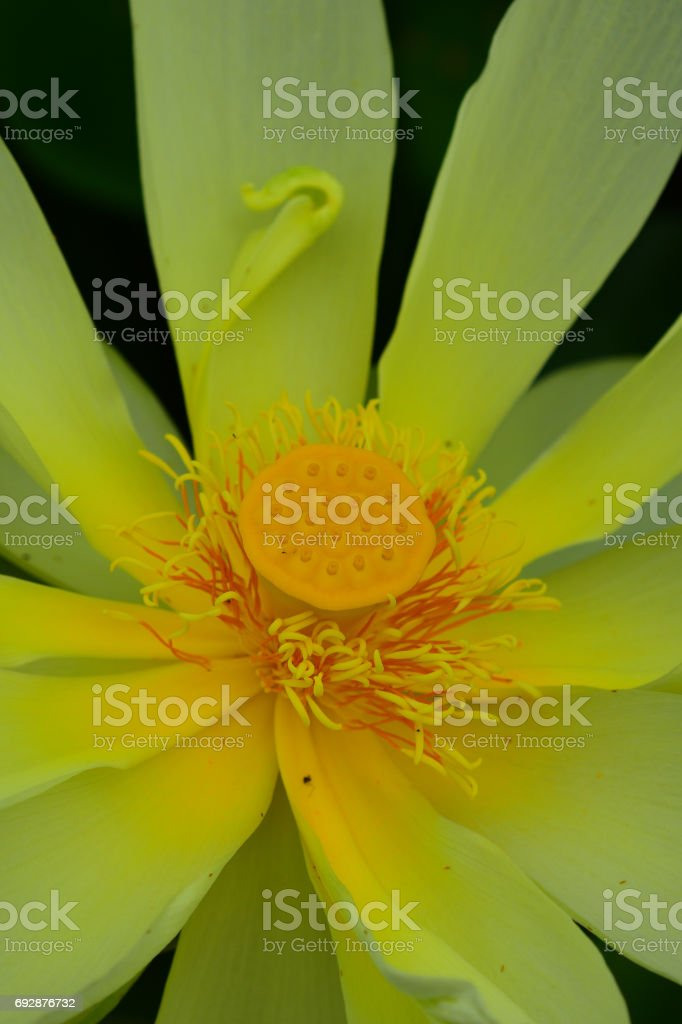 Open American Lotus Flower With Anther Hooked On Center Stock Photo