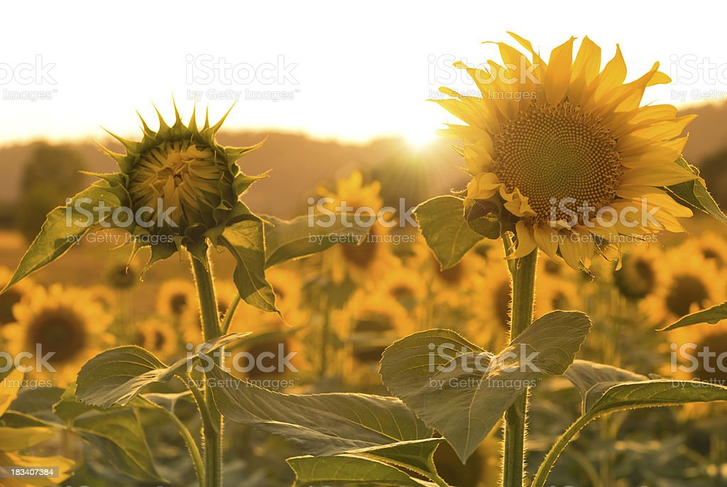 Open and closed suflower royalty-free stock photo