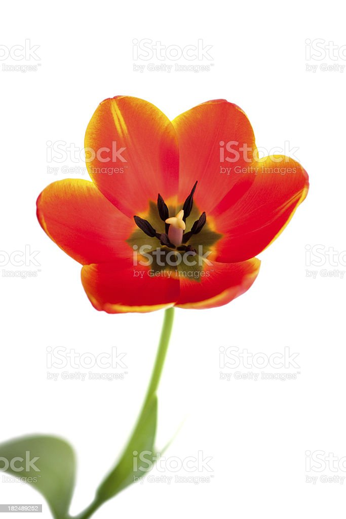 Open backlit tulip flower on a white background royalty-free stock photo