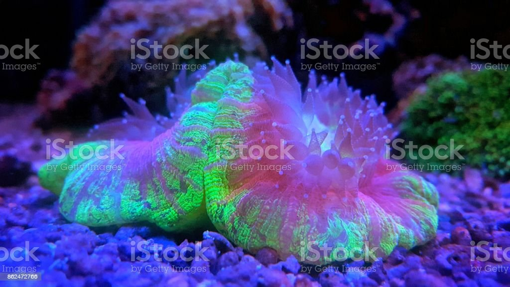 Open brain lps coral stock photo