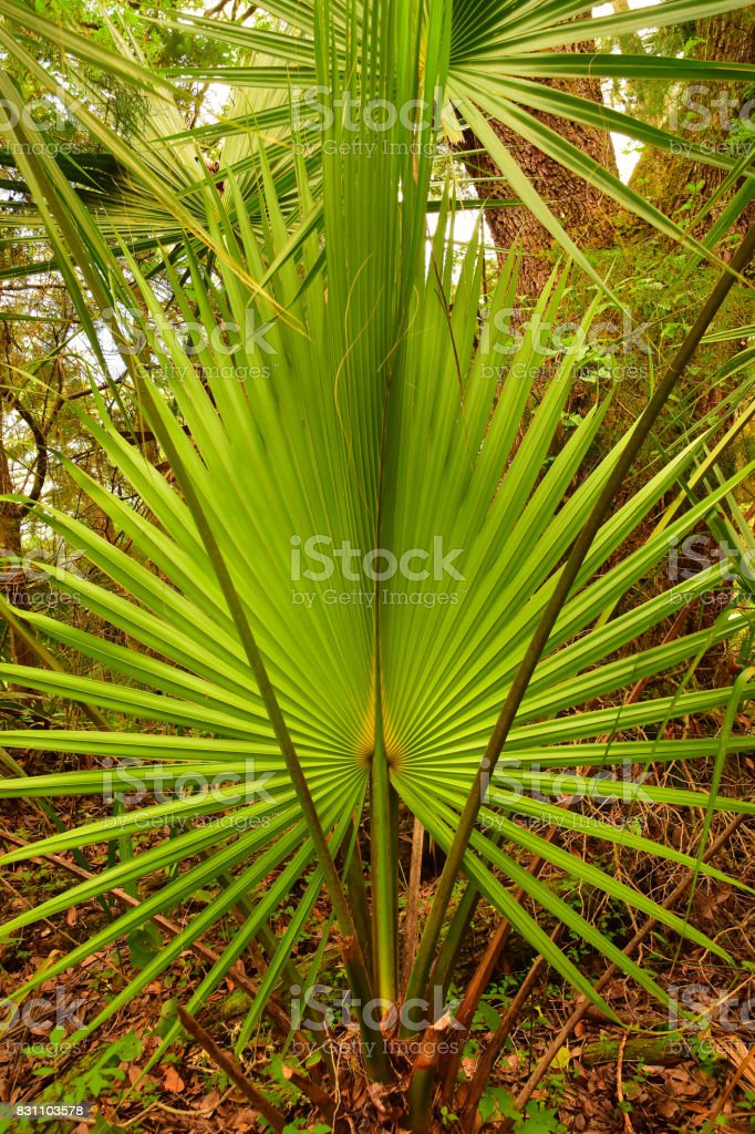 Open Cabbage Palm frond with leaf stems on either side stock photo