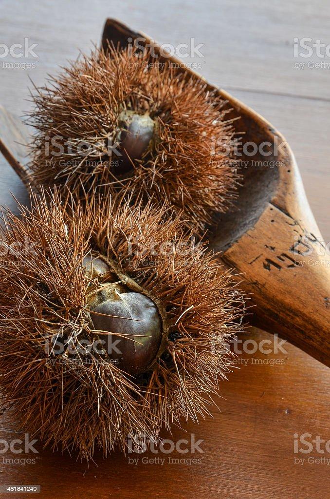 open chestnut husk on wood table stock photo