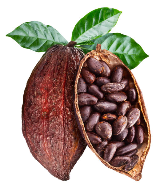 Open cocoa pod with cocoa seeds which is hanging from the branch. Open cocoa pod with cocoa seeds which is hanging from the branch. Conceptual photo. Clipping path. cocoa bean stock pictures, royalty-free photos & images