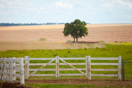 open field corral with some oxen under the tree, Mato Grosso do Sul, Brazil