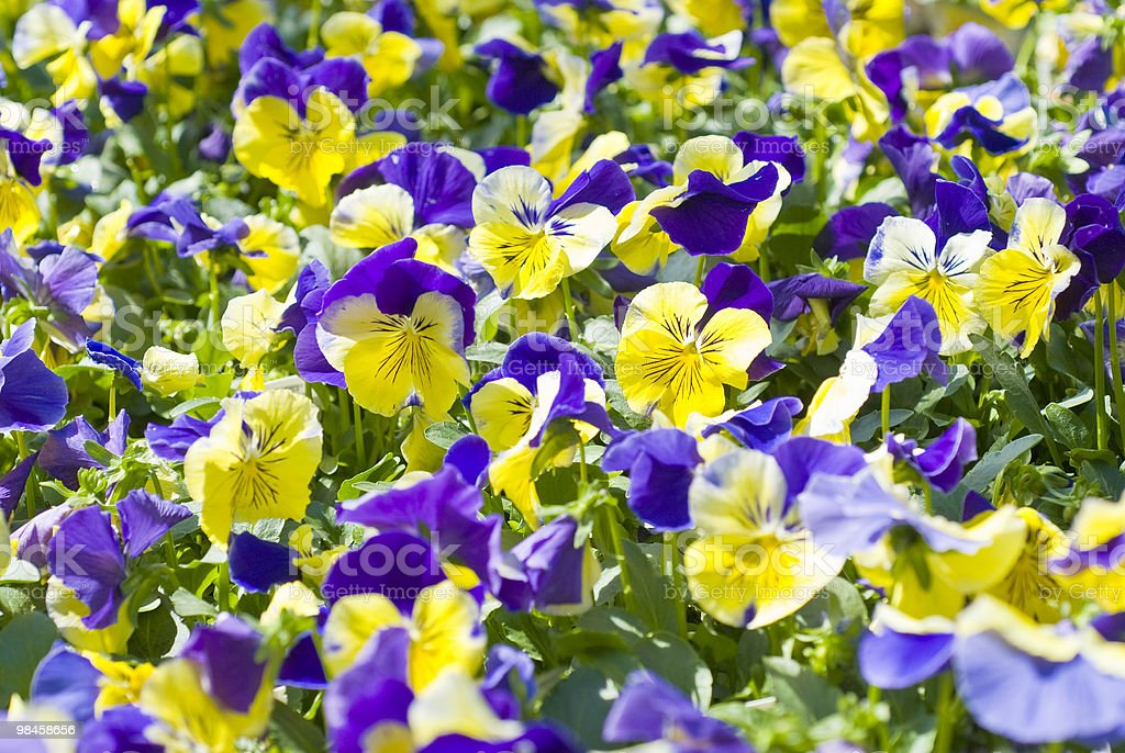 Open field of wildflowers, purple and yellow pansies royalty-free stock photo