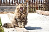 open mouth big siberian cat in garden