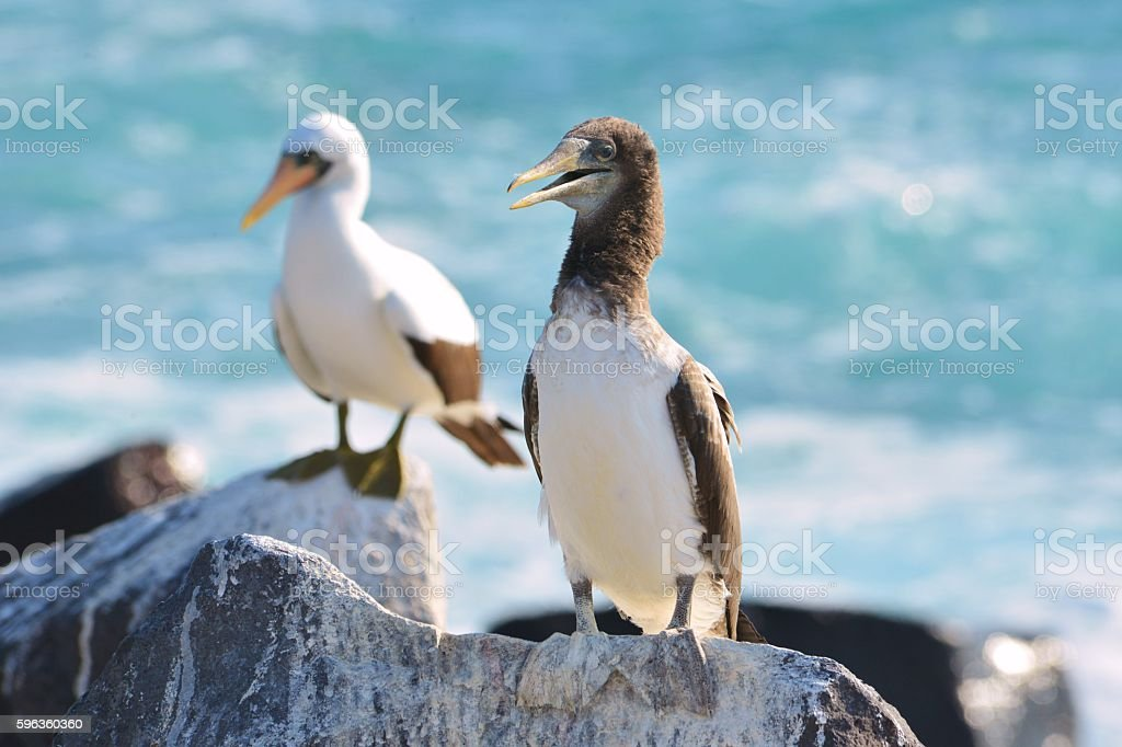 Open Mouth Booby royalty-free stock photo