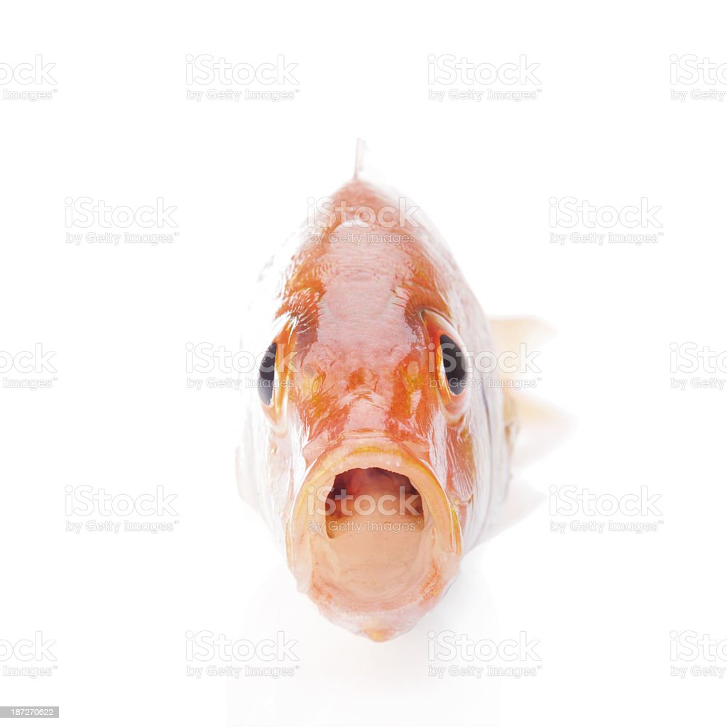 Open mouth fish. stock photo