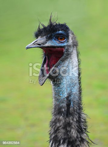an emu bird with it's mouth wide open