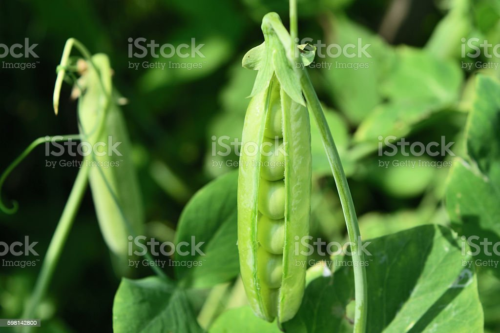 open pea pod on a stalk growing stock photo