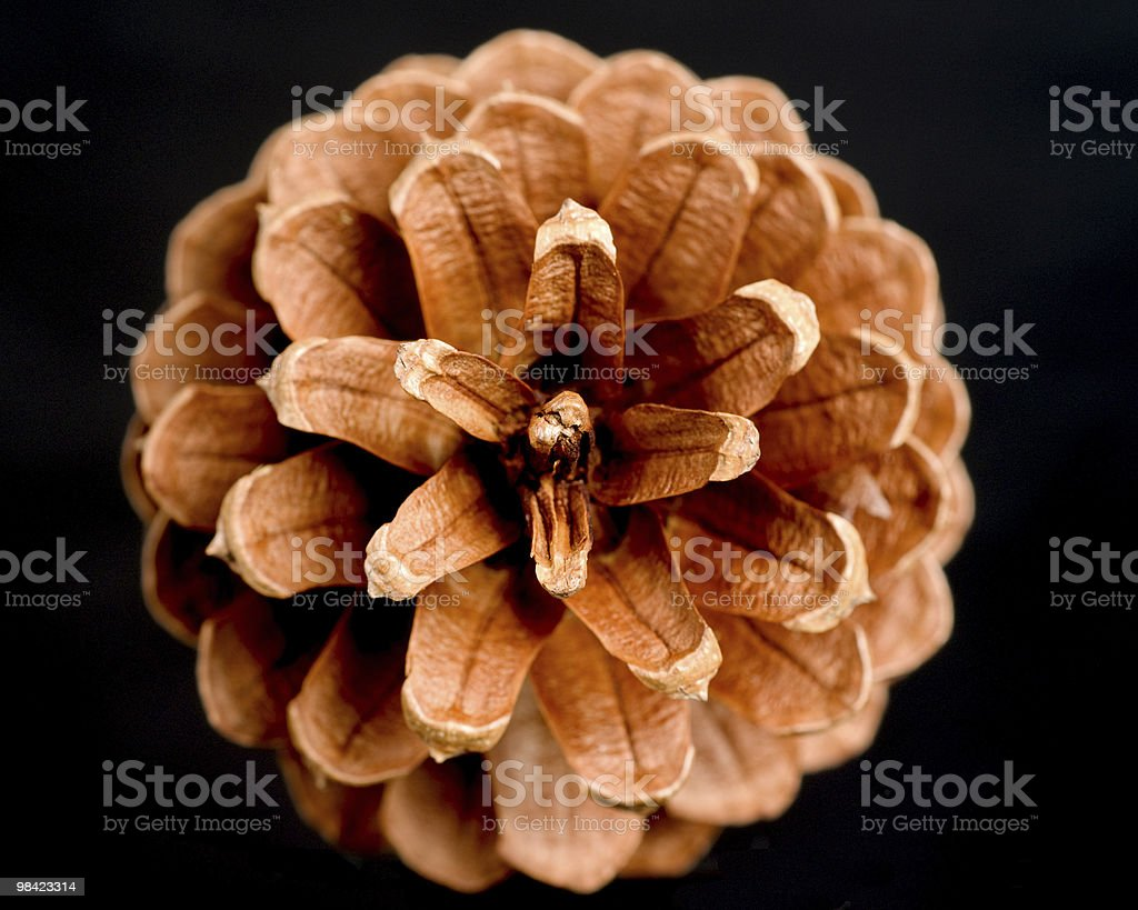 Open Pine Cone royalty-free stock photo