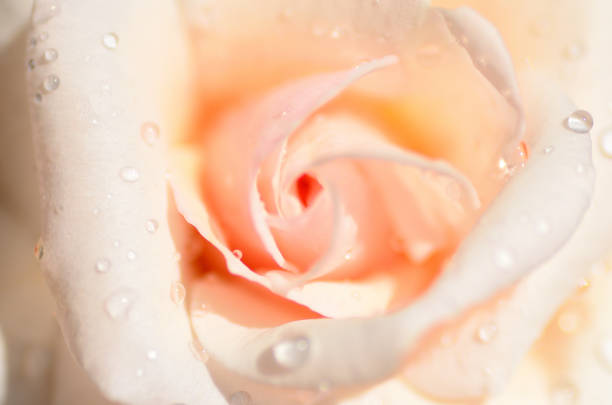 Open pink rose bud with water drops picture id1273321741?b=1&k=6&m=1273321741&s=612x612&w=0&h=hblw2hlqcsnnnku0aaw5ziknqxstyxfwpthbzhel oc=