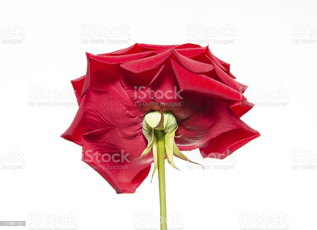 Open red rose royalty-free stock photo