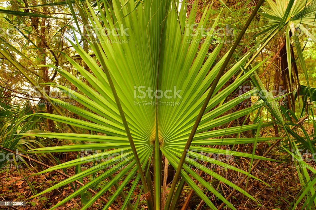Open Sabal Palm frond with long leaf stems on either side stock photo