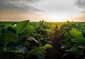 istock Open soybean field at sunset.Soybean field . 1200736399