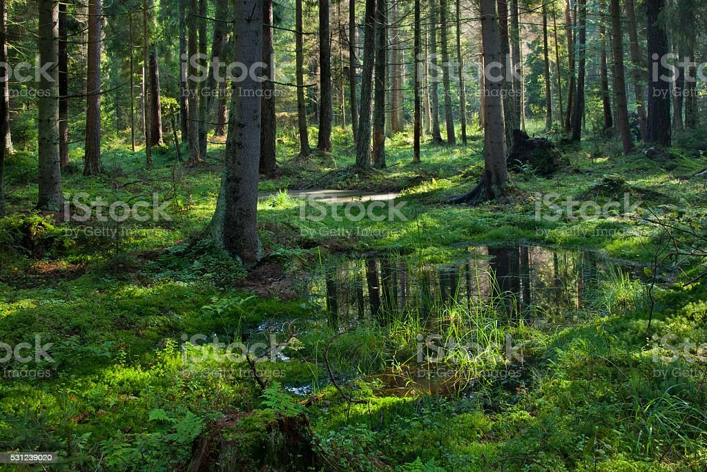 Open standing water inside coniferous stand stock photo