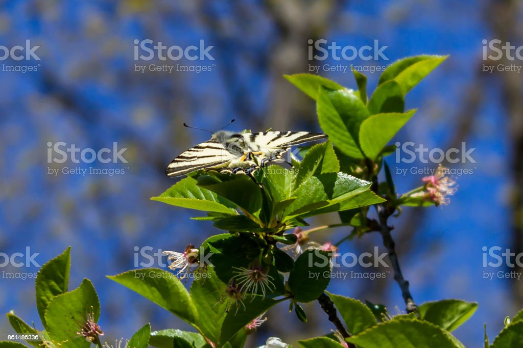 Open winged butterfly on  green leaves stock photo