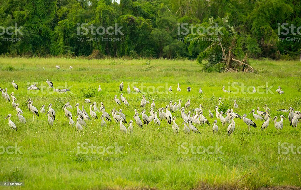 Open-billed stork or Asian openbill Bird group in Green meadow stock photo