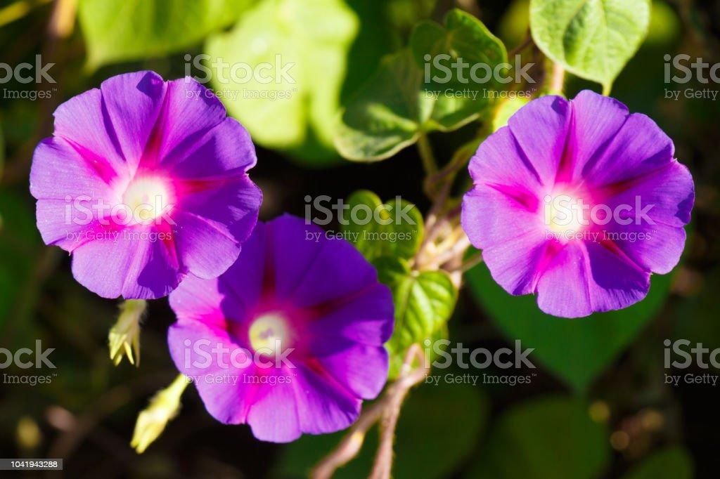 Flores abertas de roxo da trepadeira contribuam como pano de fundo - foto de acervo