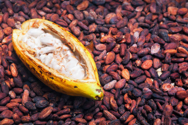 Opened ripe cocoa pod on drying raw beans background Indonesian cocoa trees plantation harvest - opened ripe pod on drying raw beans background. Fruit of cocoa plants used in food industry for producing chocolate, natural cacao butter, powder and drinks cocoa bean stock pictures, royalty-free photos & images