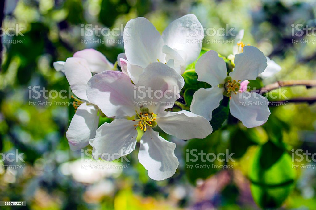 Opened white blossoms closeup on a branch stock photo