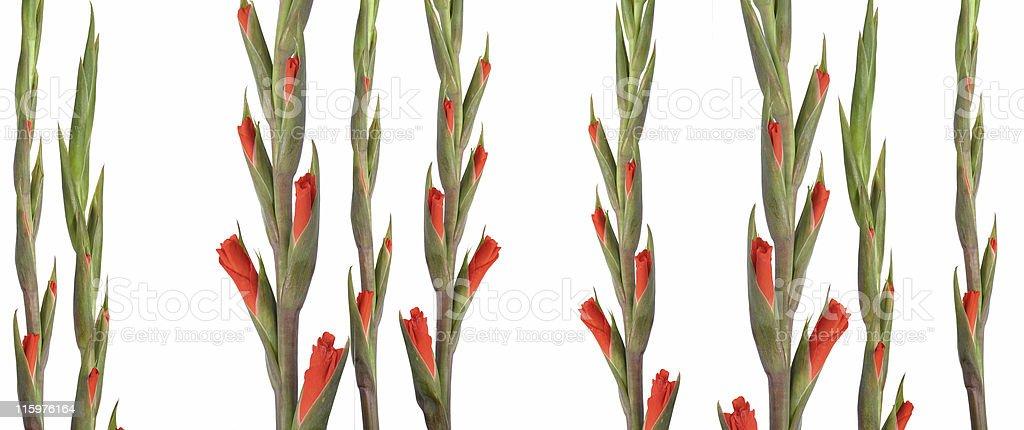 opening gladioli shoots royalty-free stock photo