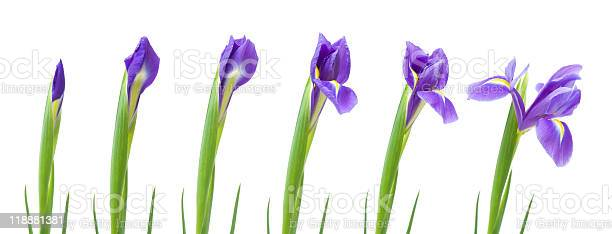 Opening of iris flower isolated on white picture id118881381?b=1&k=6&m=118881381&s=612x612&h=wl t7hrgxen6k6y s3 qs4mmddllhcdl67cx96mep1s=