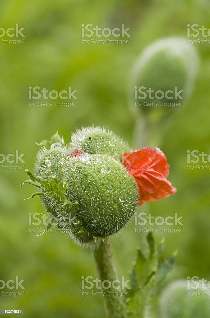 Opening poppy bud royalty-free stock photo