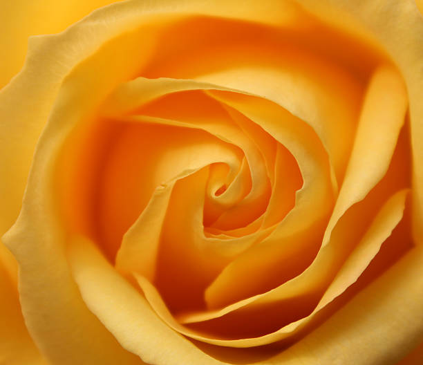 opening rose yellow rose on the garden opening in the mid day abjure stock pictures, royalty-free photos & images