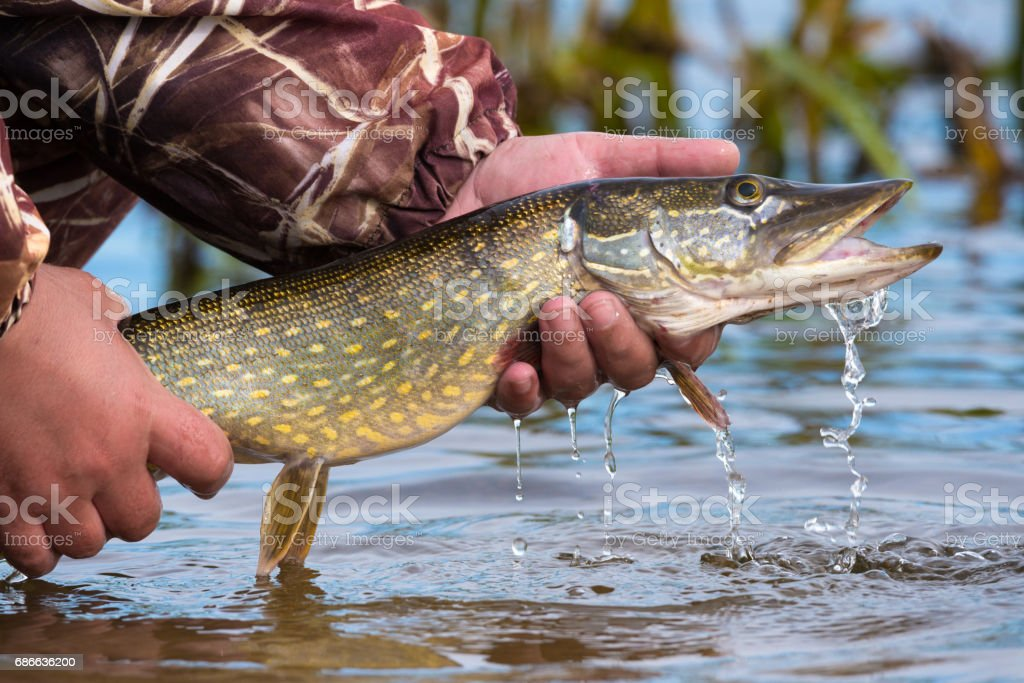 Open-mouthed large pike with drops of running water in the fisherman's hand. Fishing trophies, caught on a jig & soft bait,in the hand of angler above the water.Catch and release fishing. stock photo