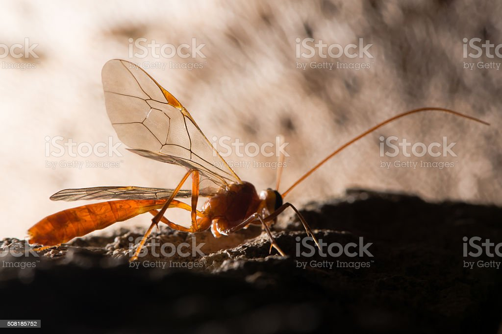 Ophion luteus wasp stock photo