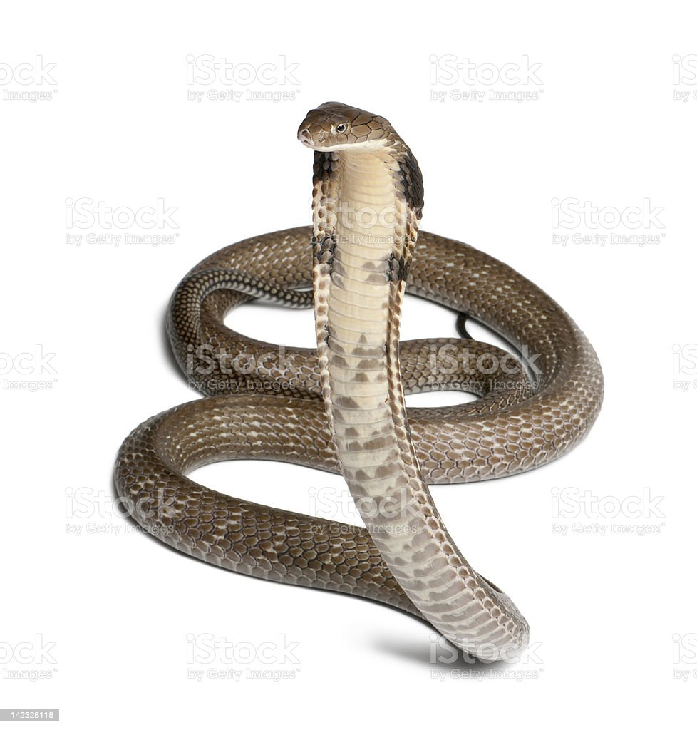 Ophiophagus hannah, king cobra on white background stock photo