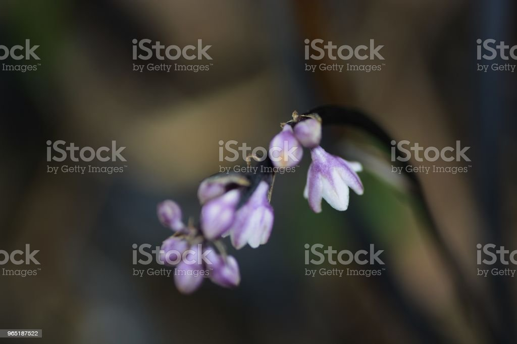 Ophiopogon planiscapus royalty-free stock photo