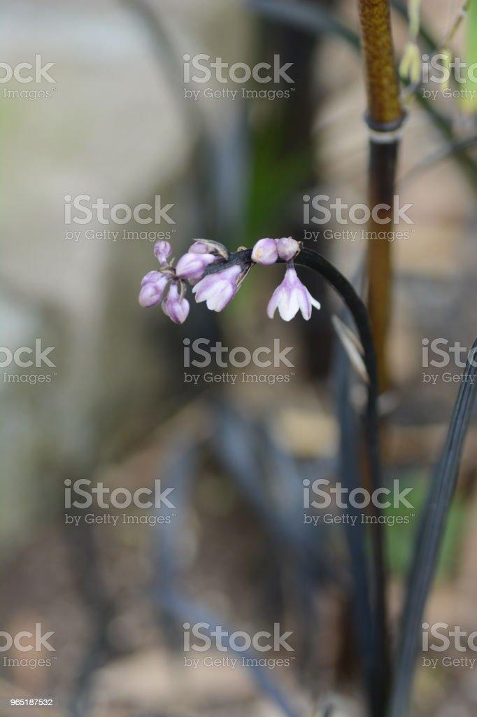 Ophiopogon planiscapus zbiór zdjęć royalty-free