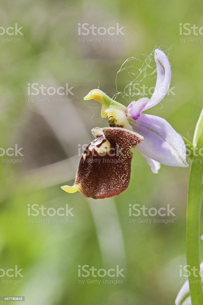 Ophrys Bertolonii royalty-free stock photo