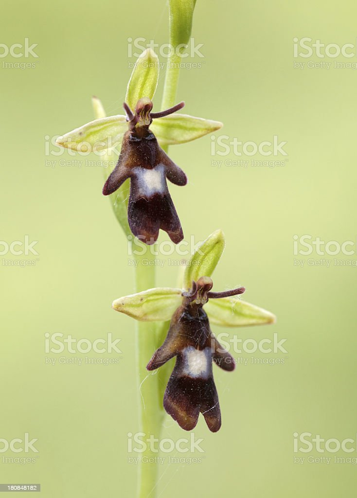 Ophrys insectifera, the Fly Orchid royalty-free stock photo