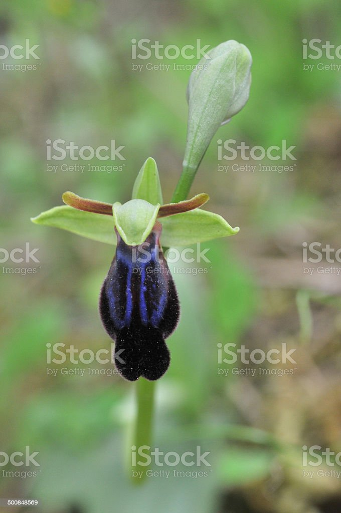 ophrys iricolor stock photo