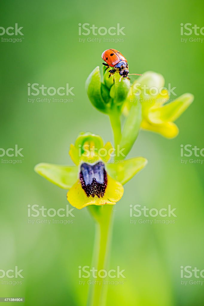 Ophrys lutea, Wild Orchid with ladybug insect on flower stock photo