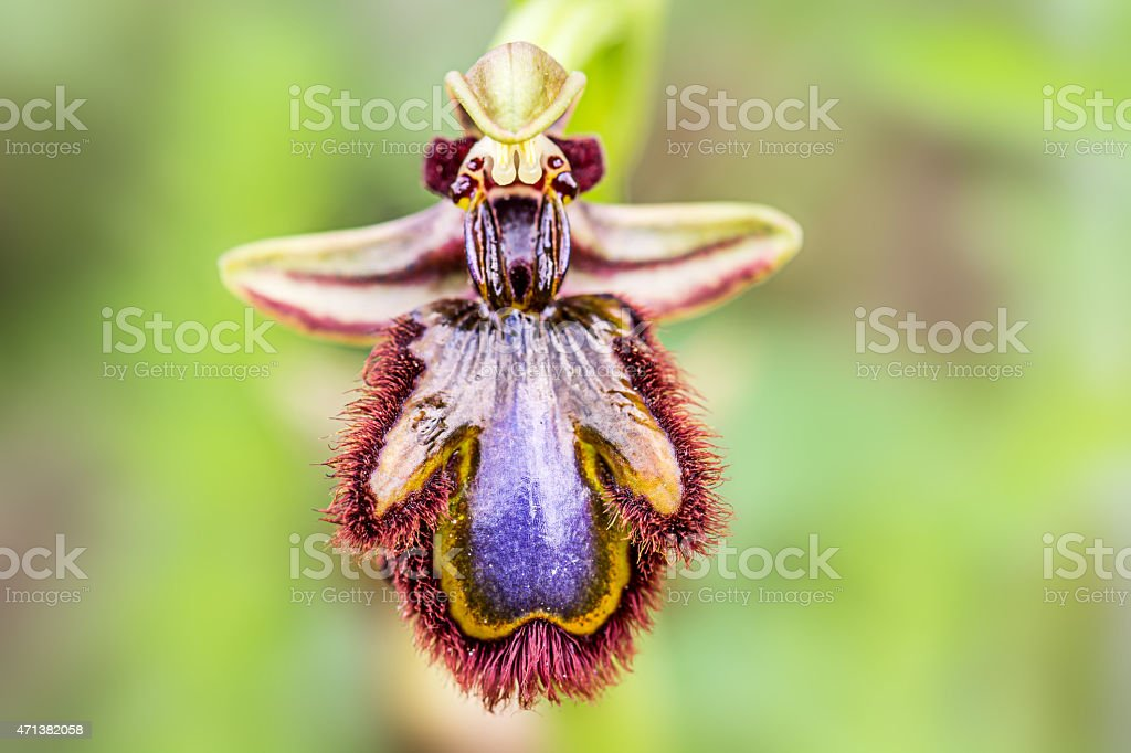 Ophrys speculum, wild orchid in southern Europe stock photo