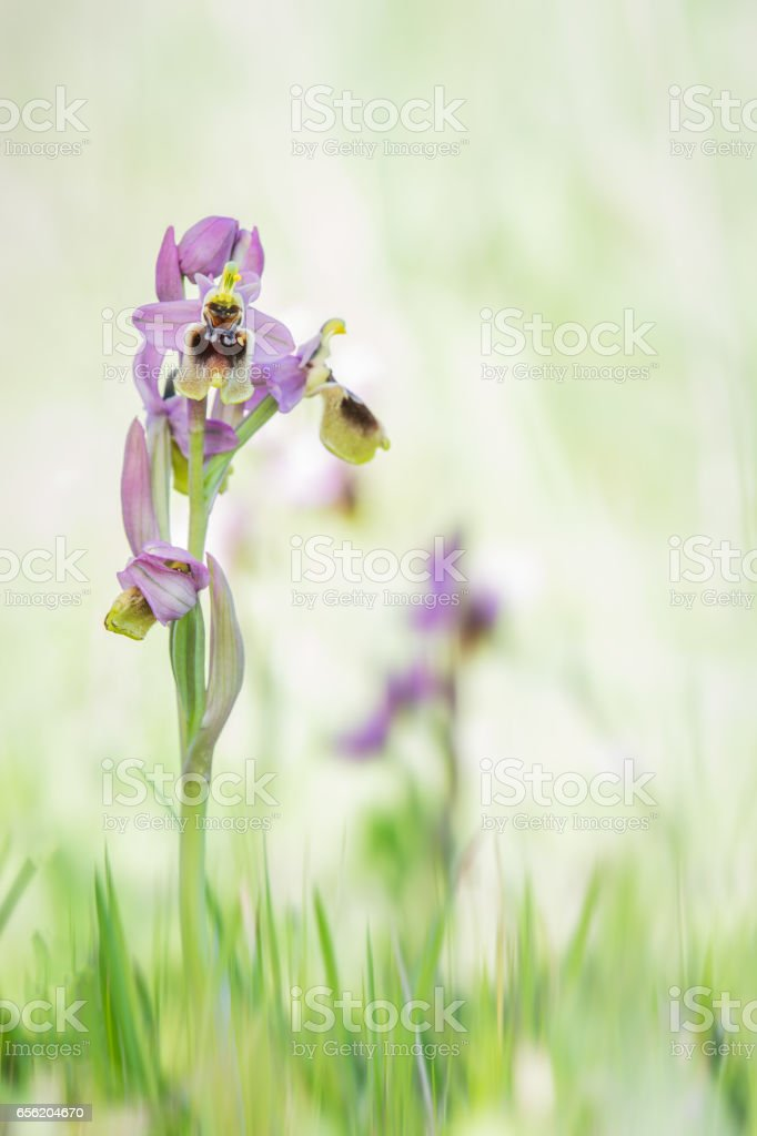 Ophrys tenthredinifera, Wild Orchid stock photo