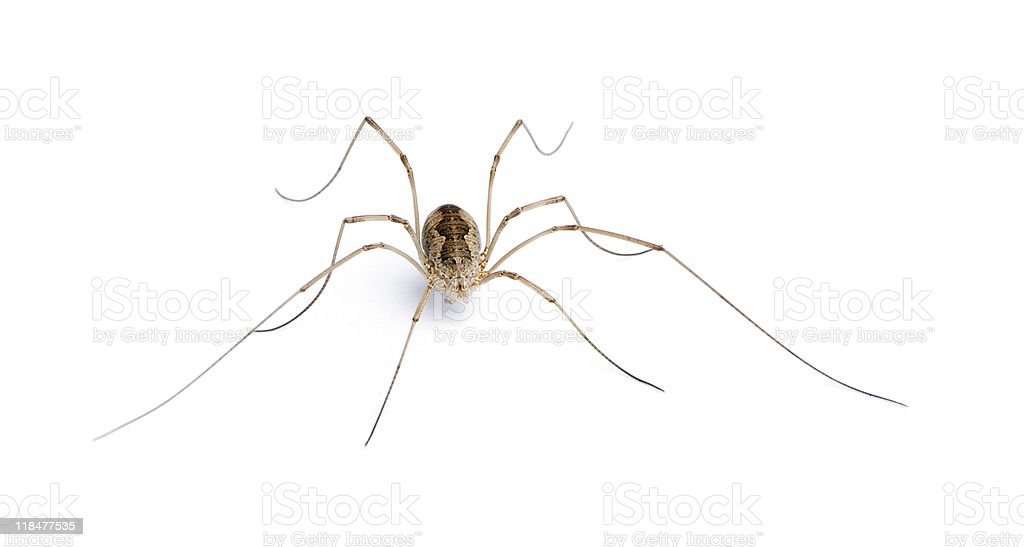 Opiliones spider in front of white background stock photo