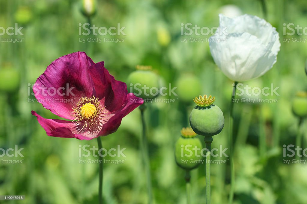 Pavot A Opium Photos Et Plus D Images De Codeine Istock