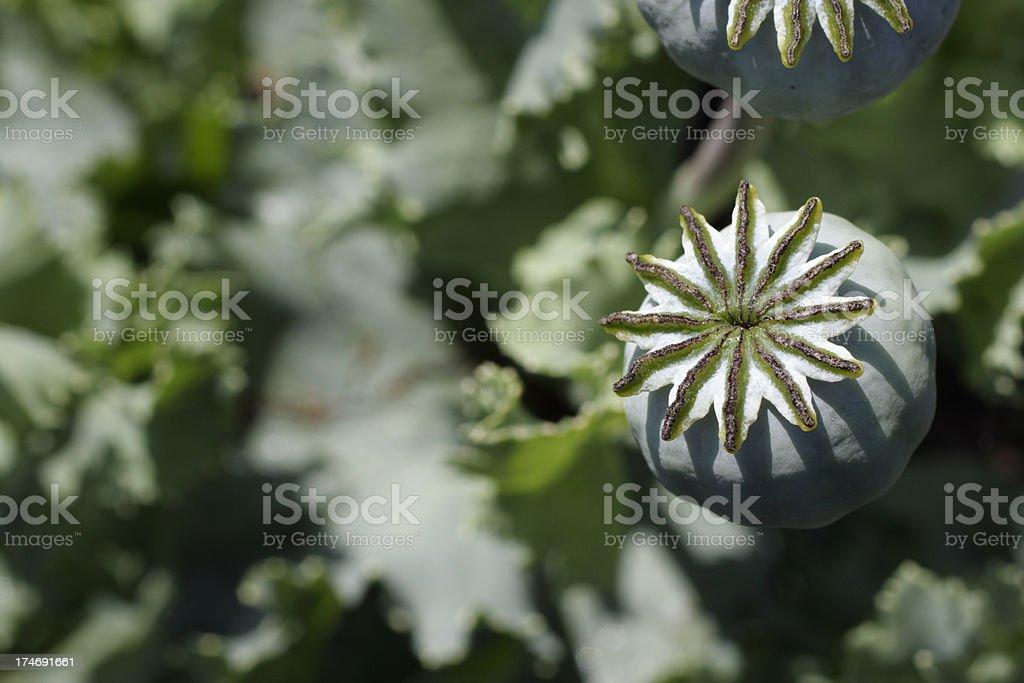 Opium poppy seed pod on waste ground royalty-free stock photo