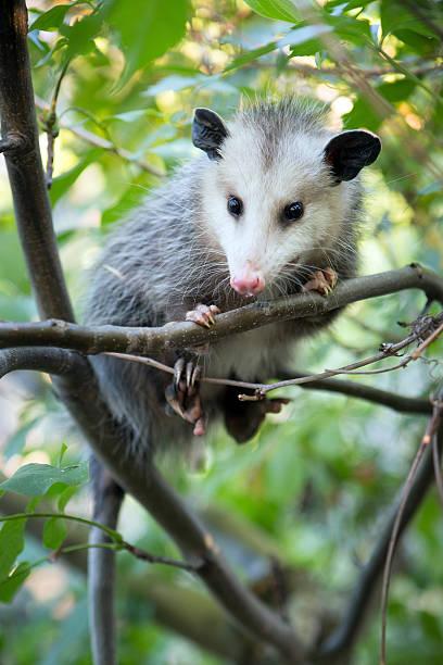 Opossum in Tree stock photo