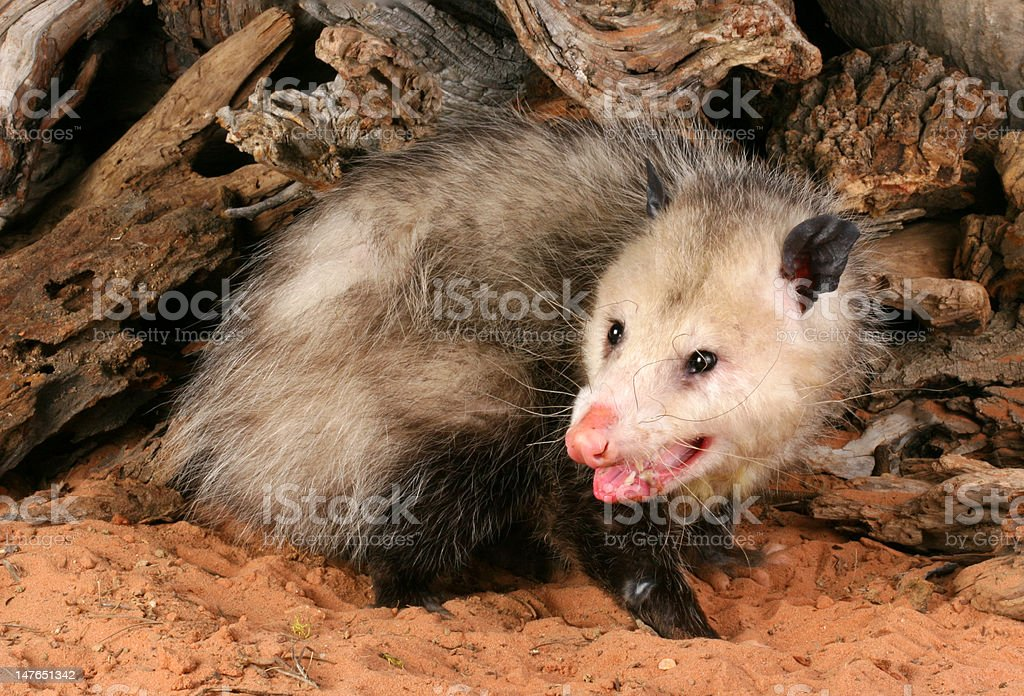Opossum  (Didelphis marsupialis) royalty-free stock photo