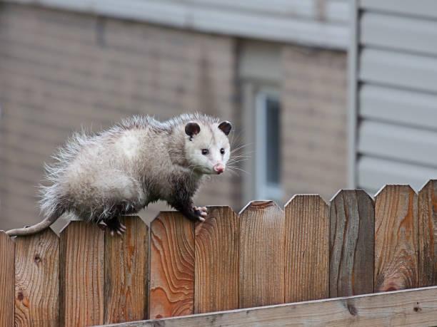 opossum wandelingen over een hek - aas eten stockfoto's en -beelden