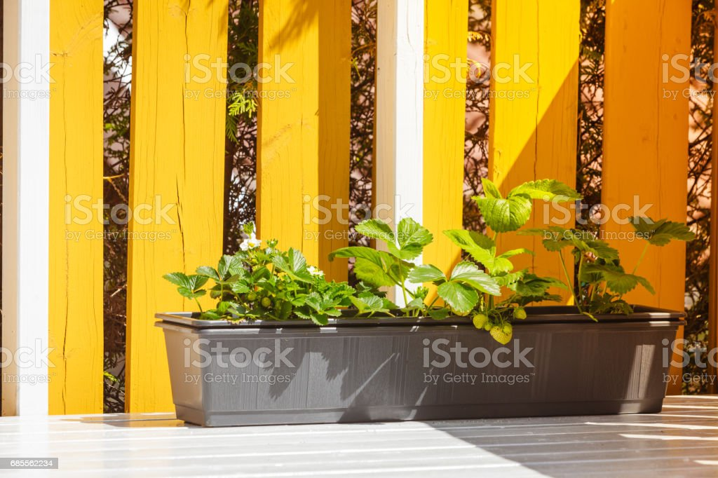 oPots with strawberry plants 免版稅 stock photo