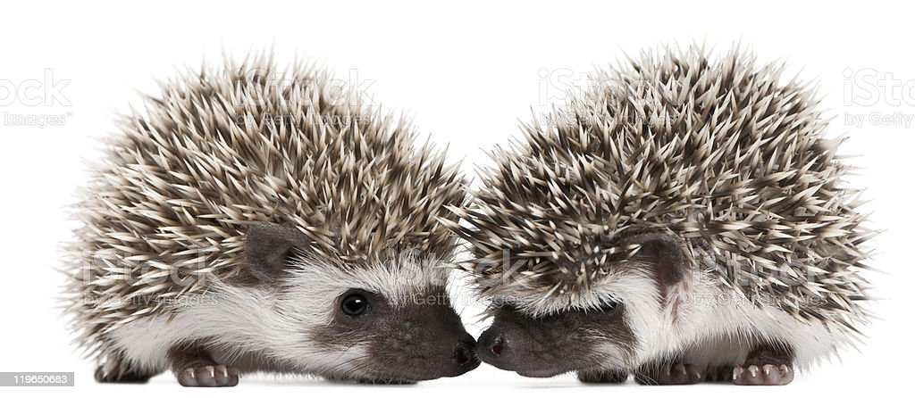 Opposite side profiles of two 3-week old hedgehogs royalty-free stock photo