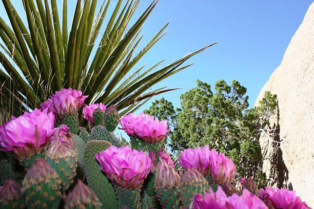 opuntia basilaris en el parque nacional joshua tree, estados unidos - opuntia robusta fotografías e imágenes de stock