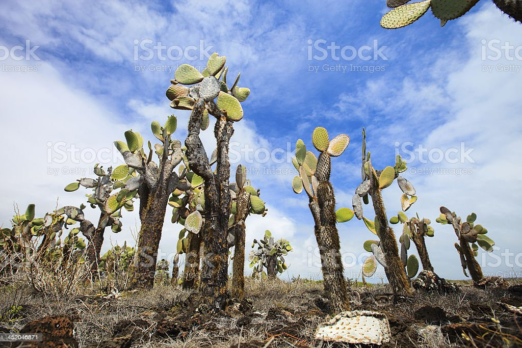 Opuntia cactus forest stock photo
